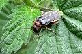 Sailor beetle (SGr) (7168685411).jpg