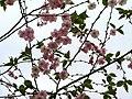 Saint Petersburg. Chinese Garden. Sakura tree2017 01.jpg