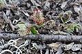 Salix reptans-MW0158288-live.jpg