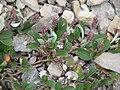 Salix reticulata02.jpg