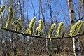 Salix viminalis kz03.jpg