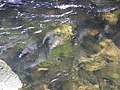 Salmon swimming upstream in Ketchikan Creek 5.jpg