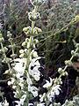 Salvia argentea 14May2009 plant CampoCalatrava.jpg