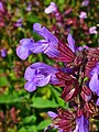 Salvia officinalis 003.JPG