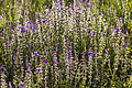 Salvia viridis - Painted sage - Zarif Şalba 02.jpg