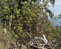 Sambucus racemosa PID1798-2.jpg