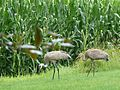 Sandhill Cranes outside of Cambridge, Wisconsin.jpg