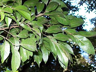 <i>Sarcopteryx stipata</i> Species of tree