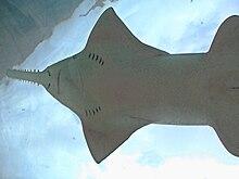 220px sawfishseenfromunderwatertunnelatlantis
