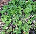 Saxifraga cuneifolia - Keilblättriger Steinbrech - Botanischer Garten Bonn.jpg