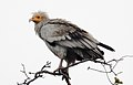 Scavenger Vulture Neophron percnopterus by Dr. Raju Kasambe DSCN7176 (2).jpg