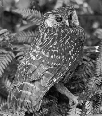 Laughing owl - Live S. a. albifacies specimen photographed between 1889 and 1910