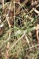 Schiermonnikoog - Venkel (Foeniculum vulgare) v2.jpg