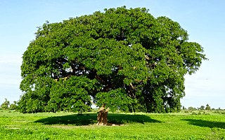 <i>Afzelia africana</i> species of plant