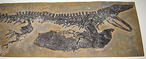 Temnospondyli - A fossil of Sclerocephalus showing a large pectoral girdle and ventral plates