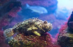 Scorpaena-porcus1.jpg