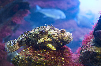 Black scorpionfish - Image: Scorpaena porcus 1