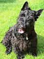 Scottish terrier .jpg