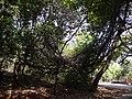 Scutia myrtina (Burm. f.) Kurz (17331797315).jpg