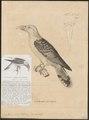 Scythrops novae hollandiae - 1700-1880 - Print - Iconographia Zoologica - Special Collections University of Amsterdam - UBA01 IZ18800323.tif