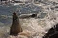 Sea Lions Playing (6519214349).jpg