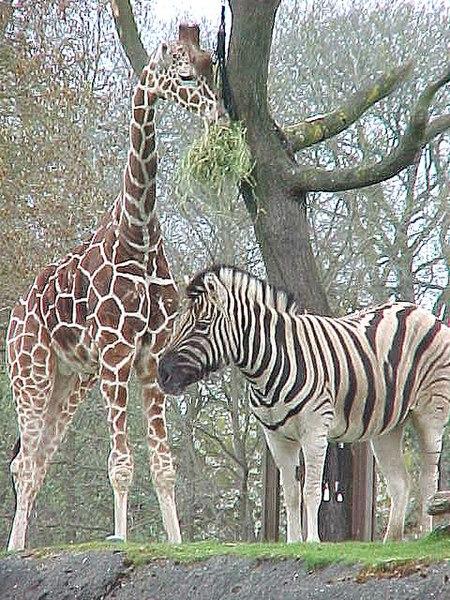 Archivo:Seattle-giraffe4.jpg