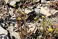 Sedum rupestre subsp. reflexum (14970713097).jpg