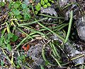 Selenicereus grandiflorus Michael Kesl.jpg