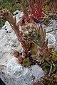 Sempervivum tectorum, familija Crassulaceae 07.jpg