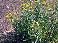 Senecio malacitanus Habitus 15-10-2008 Illora.jpg