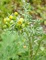Senecio vulgaris 107796765.jpg