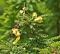 Senna polyphylla, Desert Senna flowers at Secunderabad, AP W2 IMG 6655.jpg