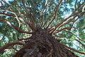 Sequoiadendron giganteum Wellingtonia.jpg