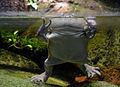 Serpentarium Blankenberge Lepidobatrachus laevis 30042015 1.jpg