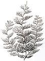 Sertularia argentea, Haeckel.jpg