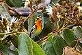 Setophaga fusca Monteverde 01.jpg