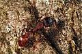 Shattuck C30117-1, Podomyrma, near Bungendore, NSW (3822023656) (2).jpg