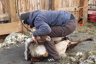 Worker Shearing Sheep