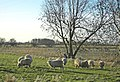 Sheep Grazing near East Marsh Farm - geograph.org.uk - 1127866.jpg