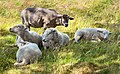 Sheep lounging in the shade of a tree with matriarch standing guard.jpg