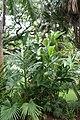 Shell-flower (Alpinia speciosa) (2665368249).jpg