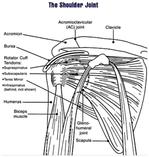...Clavicle, Bursa, Rotator Cuff Tendons (including the Supraspinatus...