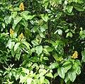Showy Cappel (Palicourea guianensis) (25057488147).jpg