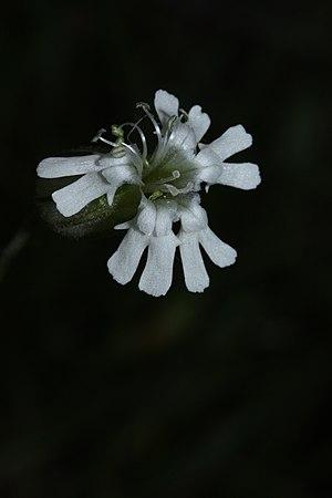 Silene - Silene parryi