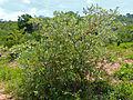 Silver Clusterleaf (Terminalia sericea) (11902484953).jpg