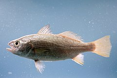 Silver perch ( Bairdiella chrysoura ).jpg