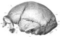 Sinanthropus Skull XII lateralis sinistra.png