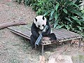 Singapore Zoo panda playing.jpg