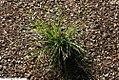 Sisyrinchium mucronatum 5zz.jpg