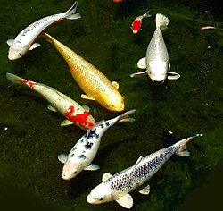 Six koi (and one goldfish) living in a private outdoor pond in San Jose, California